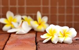 Het bloeien de witte bloemen van Plumeria of Frangipani-op bruine kleurenbri stock foto's