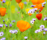 Het bloeien de Zomer Medow royalty-vrije stock afbeelding