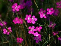Het bloeien Dianthus Royalty-vrije Stock Foto's