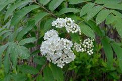 Het bloeien donkere regenachtige de zomerdag van de Boslijsterbes Stock Foto's