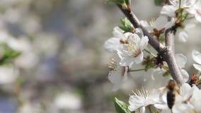 Het Bloeien en de Bij van de abrikozenbloem in de Lente stock footage