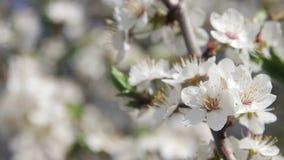 Het Bloeien en de Bij van de abrikozenbloem in de Lente stock video