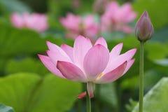 Het bloeien en de knop van Lotus Royalty-vrije Stock Afbeelding