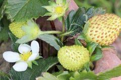 Het bloeien en Groene Aardbeien Royalty-vrije Stock Afbeeldingen