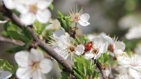 Het Bloeien en het Onzelieveheersbeestje van de abrikozenbloem in de Lente stock footage