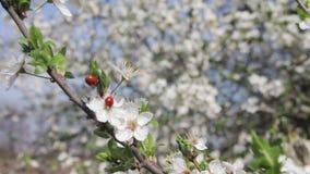 Het Bloeien en het Onzelieveheersbeestje van de abrikozenbloem in de Lente stock videobeelden
