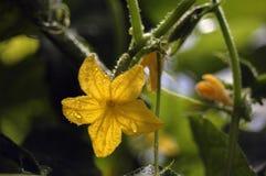 Het bloeien en het rijpen van komkommers van een verscheidenheid van cornichons na het water geven Stock Foto's