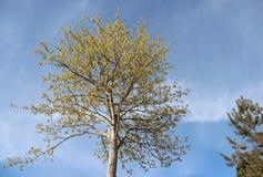 Het bloeien en Jonge Bladeren in de Lente Zuivere Natuurlijk royalty-vrije stock foto's
