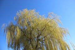 Het bloeien en Jonge Groene Bladeren in de Lente stock afbeeldingen