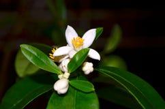 Het bloeien Eustis limequat Stock Afbeelding