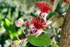 Het bloeien Feijoa (sellowiana Acca) royalty-vrije stock foto