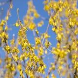 Het bloeien forsythia op een zonnige dag in de vroege lente Tot bloei komende forsythiatakken tegen de blauwe hemel stock fotografie