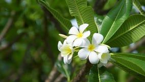 Het bloeien frangipani in kuuroord wordt gebruikt winkelt in vage stijl voor achtergrond, banner of kaart en het de lentelandscha stock footage