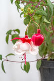 Het bloeien fuchsia Stock Foto's
