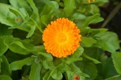 Het bloeien gele calendula één bloem Royalty-vrije Stock Afbeeldingen