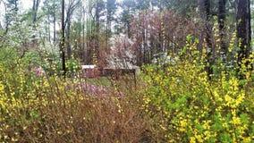 Het bloeien gele forsythia in voorgrond en witte kornoelje en in park het plaatsen Stock Afbeeldingen