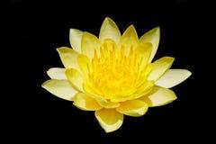 Het bloeien gele waterlelie Royalty-vrije Stock Foto