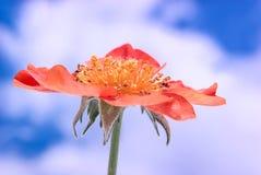 Het bloeien Gravilat Chileense Rode Geum royalty-vrije stock foto