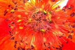 Het bloeien Gravilat Chileense Rode Geum stock foto's