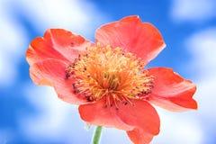Het bloeien Gravilat Chileense Rode Geum royalty-vrije stock afbeelding