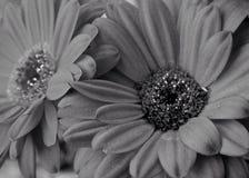 Het bloeien Hartstocht Stock Foto's