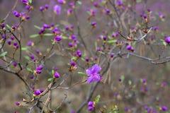 Het bloeien in het hout Ledum stock afbeelding