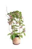 Het bloeien Hoya camosa Royalty-vrije Stock Foto