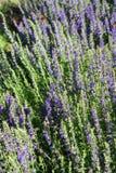 Het bloeien hyssop Royalty-vrije Stock Foto