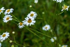 Het bloeien Insect op de kamille Het bloeiende kamillegebied, Kamille bloeit op een weide in de zomer, Selectieve nadruk stock foto