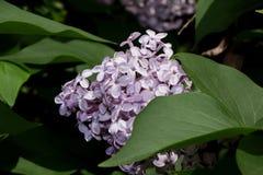 Het bloeien jonge lilac gloed in de heldere stralen van de de lentezon royalty-vrije stock foto