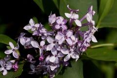 Het bloeien jonge lilac gloed in de heldere stralen van de de lentezon stock foto's