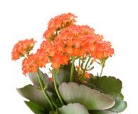Het bloeien kalanchoe Royalty-vrije Stock Afbeeldingen