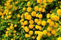 Het bloeien kerria in heiligdom, de lente Kyoto Japan Royalty-vrije Stock Foto