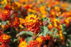 Het bloeien lantana in de tuin stock foto