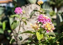 Het bloeien lantana in roze en geel Stock Afbeelding