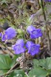 Het bloeien lilac close-up van tuinklokken van de zomer stock foto