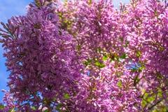 Het bloeien liliac stock afbeelding
