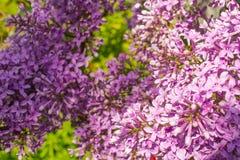 Het bloeien liliac royalty-vrije stock afbeelding