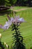 Het bloeien Lily Flowers Stock Afbeelding