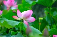 Het bloeien Lotus in de regen Royalty-vrije Stock Afbeeldingen