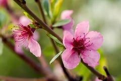 Het bloeien met roze bloemen is de perzikboom, Royalty-vrije Stock Afbeeldingen