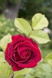 Het bloeien nam in de lentetuin toe Royalty-vrije Stock Foto's