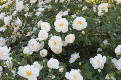 Het bloeien nam struik toe Het is behandeld met witte bloemen stock afbeeldingen