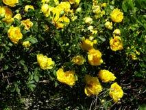 Het bloeien nam toe Stock Afbeeldingen