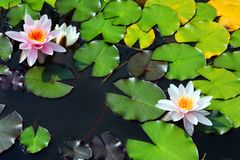 Het bloeien Nymphaéa à lba ¡ Stock Afbeelding