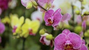Het bloeien orchideepanorama Panorama van een bloeiende orchidee Dichte omhooggaande, mooie de orchidee dichte omhooggaand van de stock video
