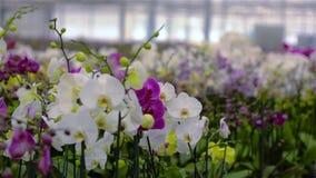 Het bloeien orchideepanorama Panorama van een bloeiende orchidee Dichte omhooggaande, mooie de orchidee dichte omhooggaand van de stock videobeelden