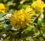 Het bloeien Oregon aquifolium van Druivenmahonia stock afbeeldingen