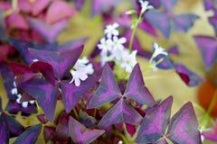 Het bloeien Oxalis triangularis royalty-vrije stock afbeelding