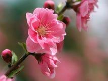 Het bloeien peachs Stock Afbeeldingen
